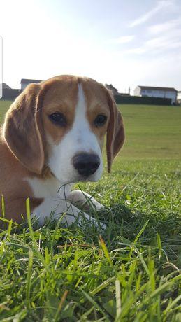 Beagle szuka domu