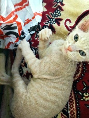 Донський сфінкс кошеня