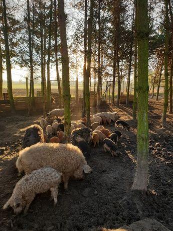 Mangalica węgierska świnia pastwiskowa