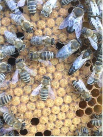 < с 12 мая> - Пчеломатки Карпатки Плідна естественного спаривания