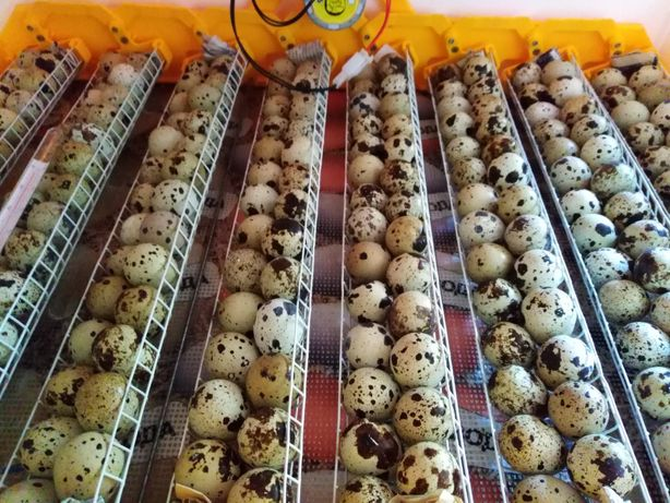 Инкубационные яйца перепела техацец, інкубаційні яйця