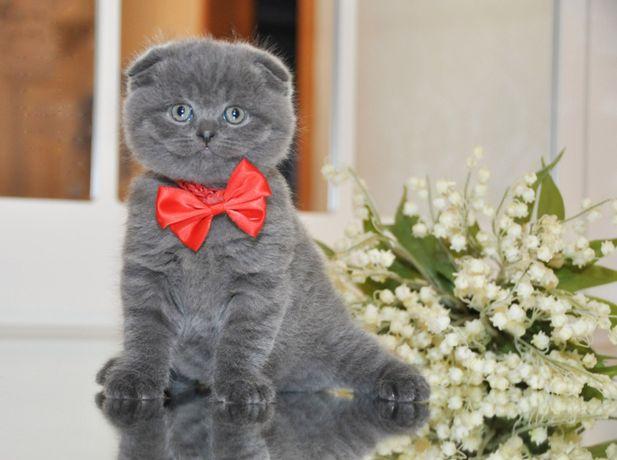 Одесса Вислоушка Мальчик шотландские котята