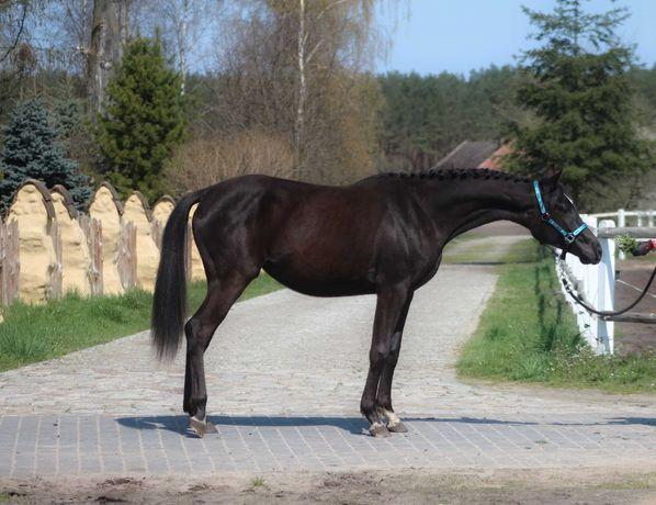 Piękna 2,5 letnia kara klacz małopolska angloarab koń malopolski