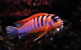 Labidochromis Hongi Pyszczaki Malawi od ręki Gdańsk