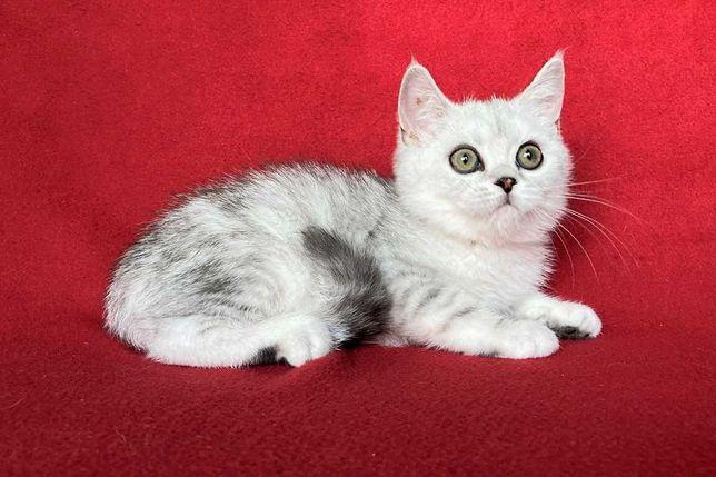 Шотландскaя прямоyxaя кошечкa в cеребриcтом мpaмopнoм oкpacе