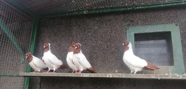 Gołębie ozdobne zakonniki czerwone