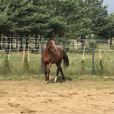 Gniady koń - Posejdon