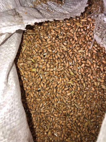 Продам пшеницу 3,5 тонны