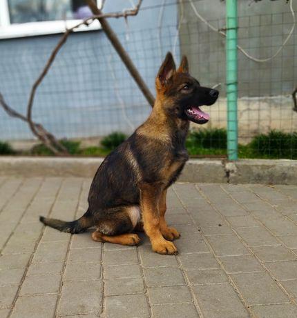 Подрощенная немецкая овчарка 3 месяца