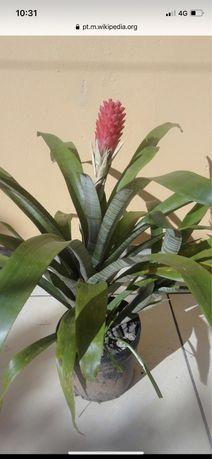 Bromelia (bromeliaceae ) planta
