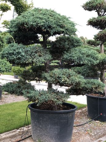 Świerk fastigiata Bonsai klon palmowy