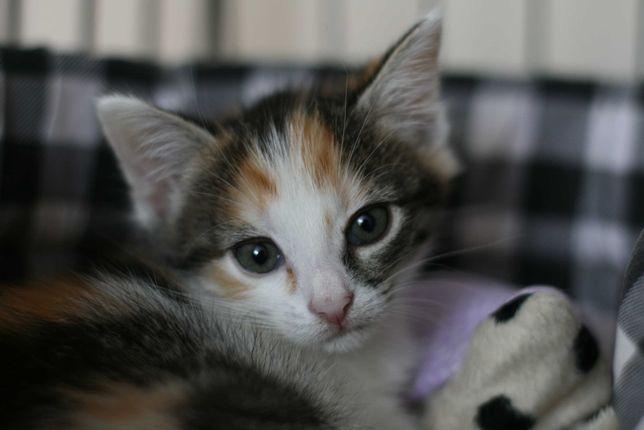 SCARLETT - 3 miesięczna kotka szuka dobrego domu/Poznań