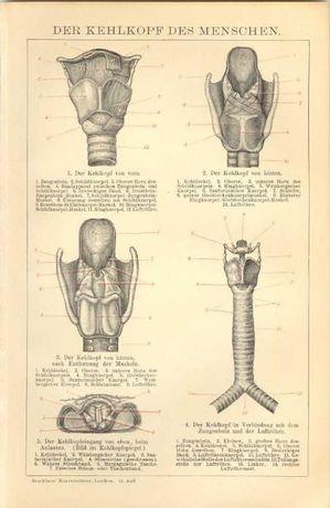 MÓZG, CZASZKA, SERCE - Organy człowieka oryginalne XIX w. grafiki