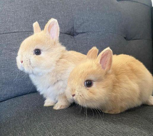 KIT completo coelhos anões mini toy e angorá