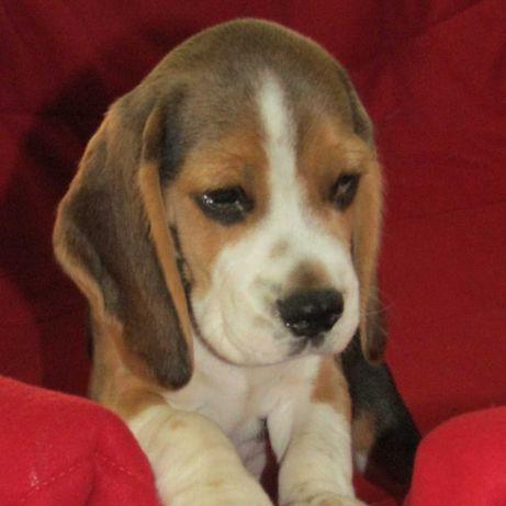 Beagle tricolor de qualidade, LOP/Pedigree/Afixo