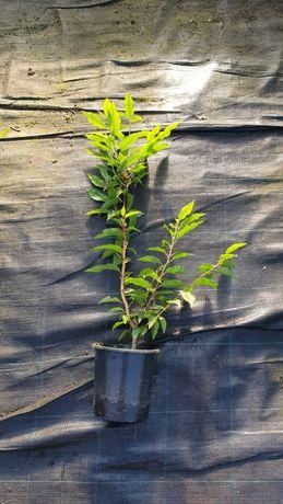 Plantas Prunus lusitânica para sebes