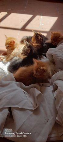 Gatinhos laranjas para adopção