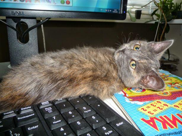 Пропала взрослая кошка черепаховая Отблагодарим нашедшего