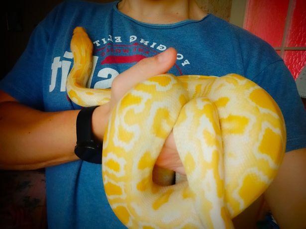 Продам змію Пітон альбінос