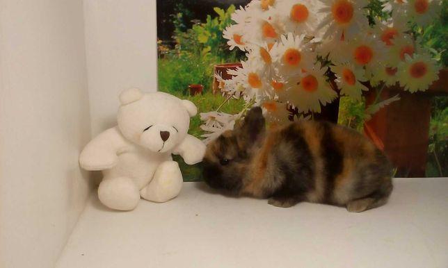 Кролики карлики подарок, мини крольчата метро Научная крольчонок