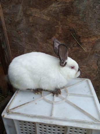 Кролик Робочий самець