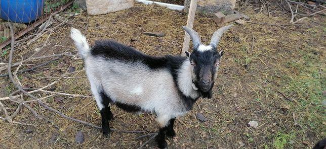 Koza i Kozioł Pigmejski