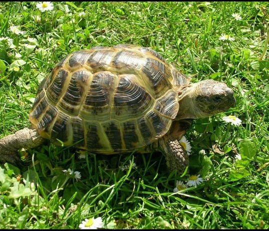Сухопутная черепаха