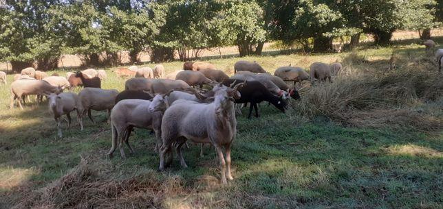 Vendo ovelhas bordaleiras