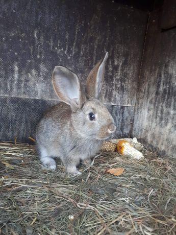 Młode króliki do dalszej hodowli