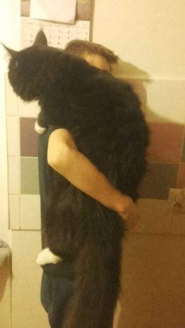 Piękne kocięta Maine Coon ,linia dużych kotów