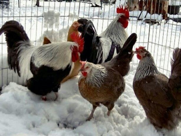 Яйцо инкубационное и цыплята, Доркинг: серебристые, золотистые.