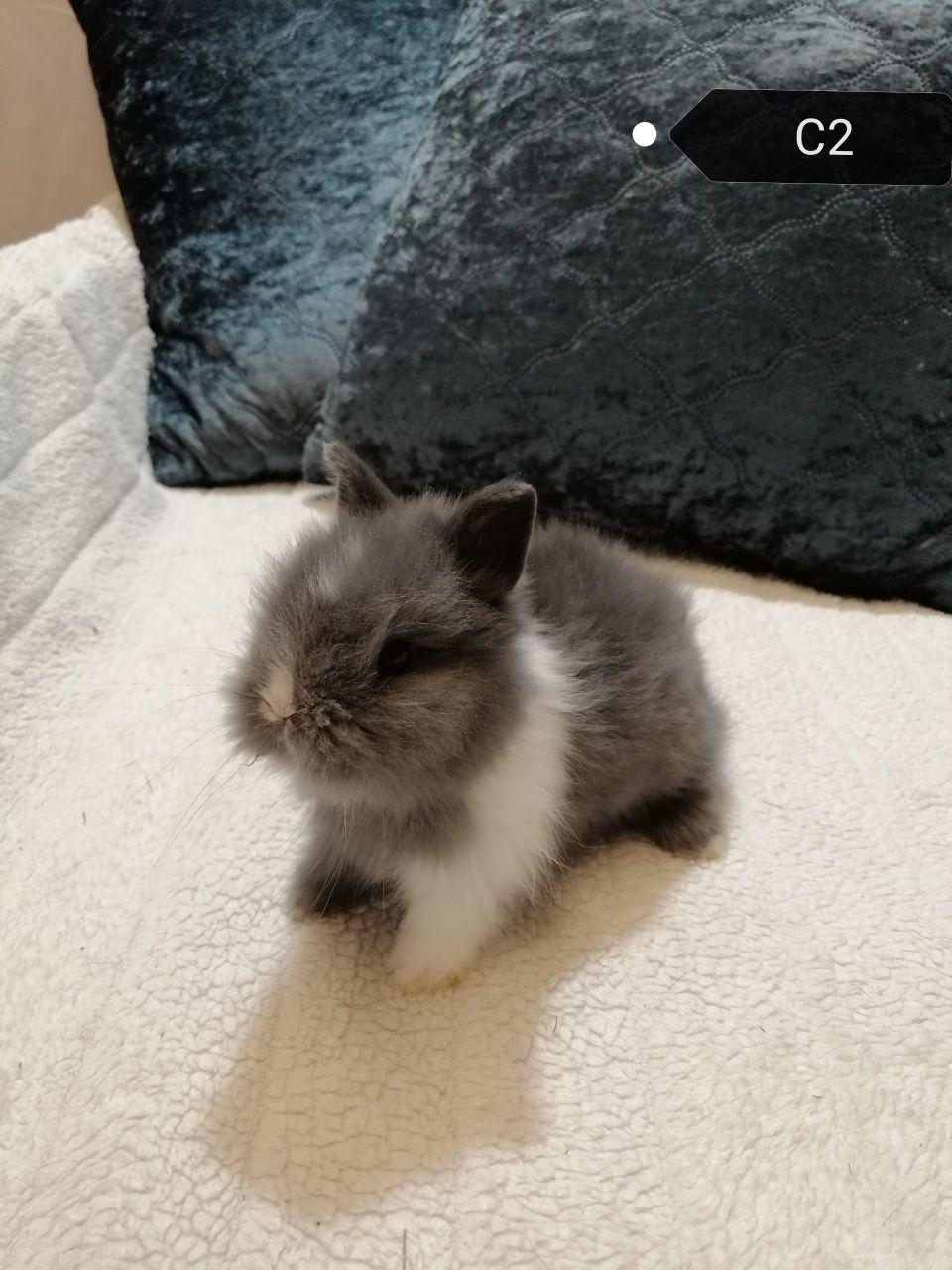 Królik karzełek teddy miniaturka długowłosy