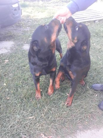 Trzy letnia suczka Rottweiler