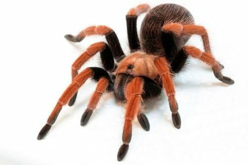 паук Aphonopelma bicoloratum 2 см по телу самка
