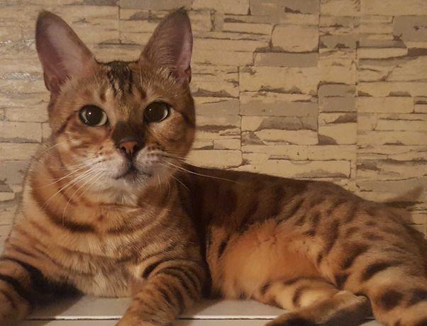 Вязка. Бенгальская кошка. Срочно.