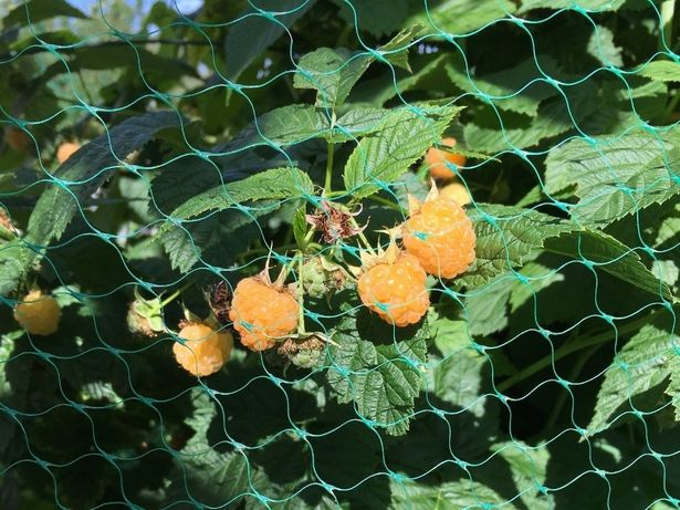 Framboesa amarela