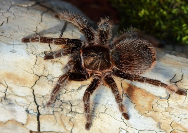 Самки паука птицееда для новичков Brachypelma albopilosum