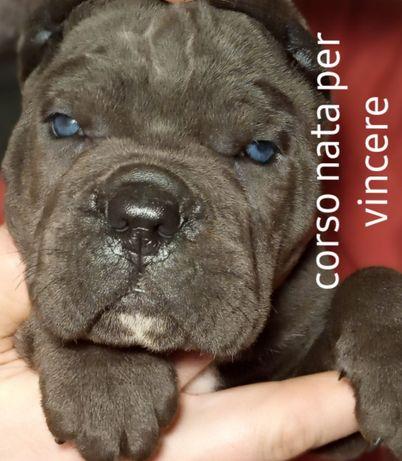 Брати 3мic male grey 3 months попiльного кольору синього КСУ.