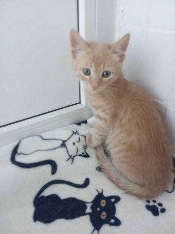 Красивый персиковый котик ищет семью возраст 1.5месяца