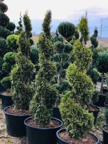 Bonsai Drzewa Formowane Spirala Szmaragd Wys. 180 cm Cena 250 zł
