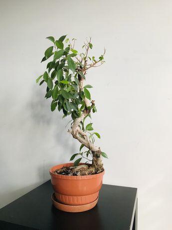 Roslina doniczkowa kwiat kwiatek bonzai Fikus Ginseng 80cm S-Shape