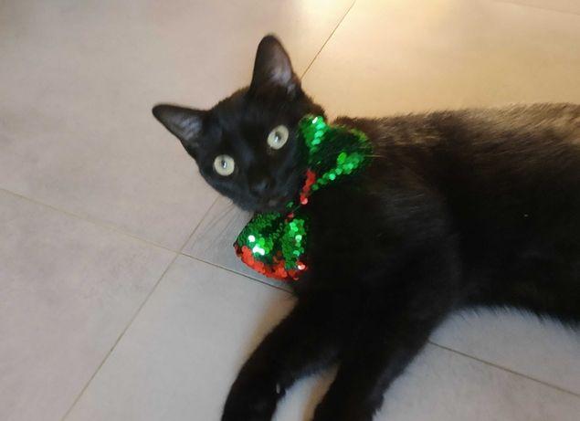 Piękny czarny kot