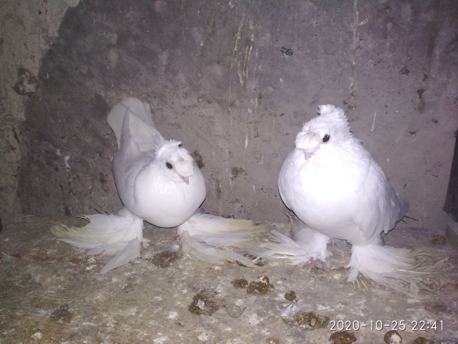 Продам голубів узбекських бойних Ирпень - изображение 1