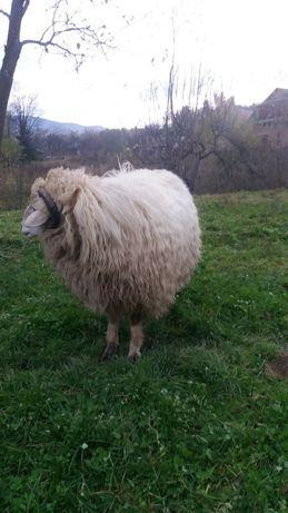 Баран,вівці