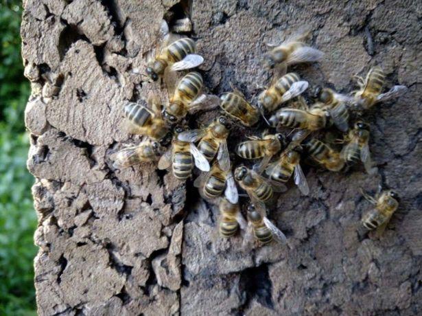 Карника Бджоломатка На весну Lekler (Леклер)