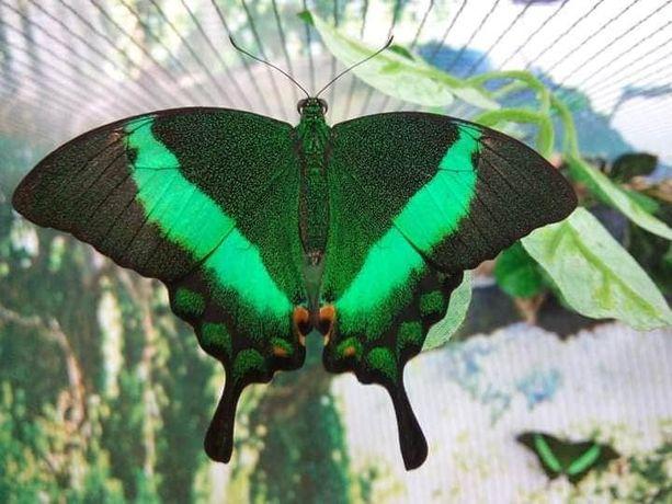 Бабочки и куколки тропических бабочек