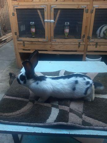 Продам кролики породи Строкач