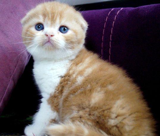 Вислоухий мраморный котик