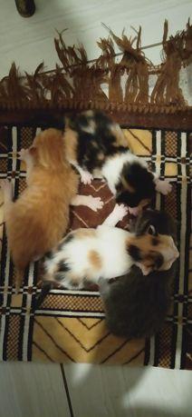 Бронь Сибирских котят