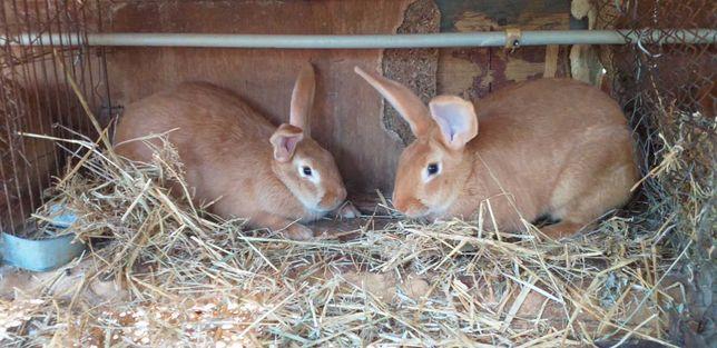 Кролики бургундские  (самцы и самки на племя)